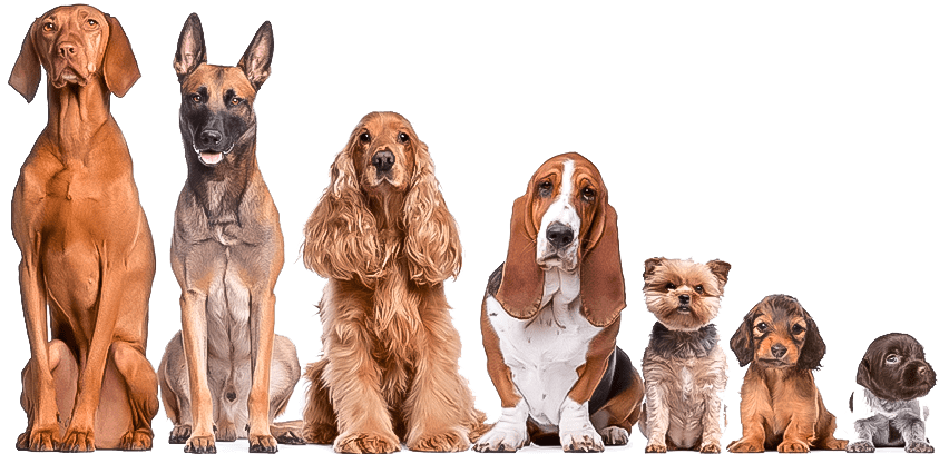 Telomere Length in Dog Breeds Correlates to Lifespan